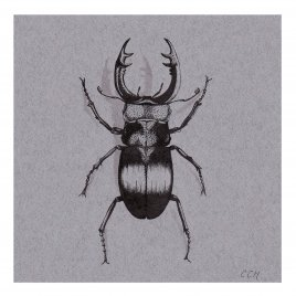 Stag beetle still life drawing